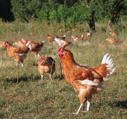 Poulet fermier-blanc Label Rouge-Auvray-Volailles