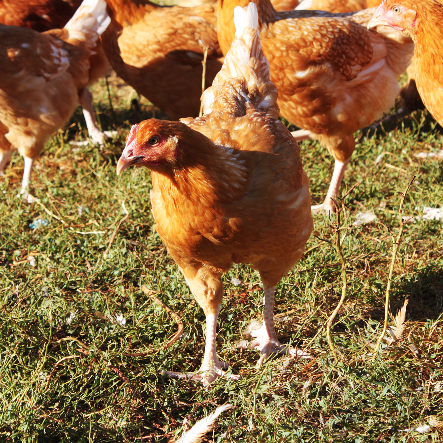 Poularde fermière - Label Rouge – Auvray Volailles